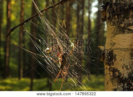 Cobweb with leaves and sticks hooked in the forest on a tree trunk birch. Bory Tucholskie Nationa Park in summer. Horizontal view.