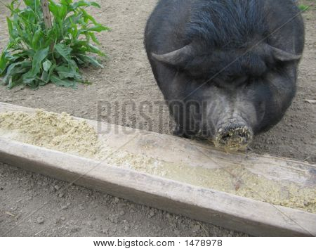 Black Pig Eating