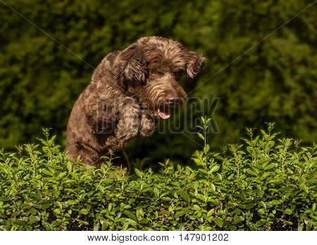Dog Jumping Over The Hedge