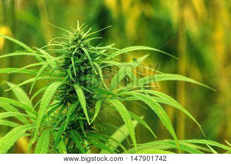 Cultivated industrial marijuana hemp in field close up