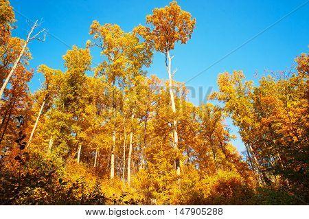Glorious Aspen golden trees agaisnt blue sky.