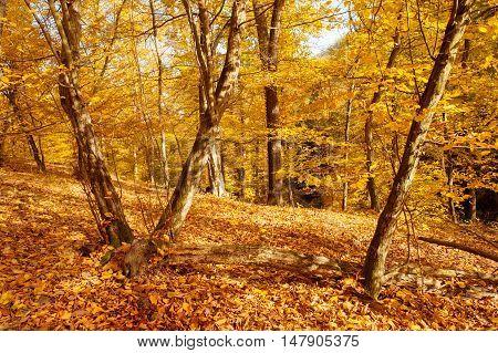 Golden Hornbeam trees in autumnal forest in sunny day