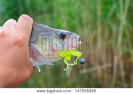 big perch silicone bait in his mouth in his hand fisherman