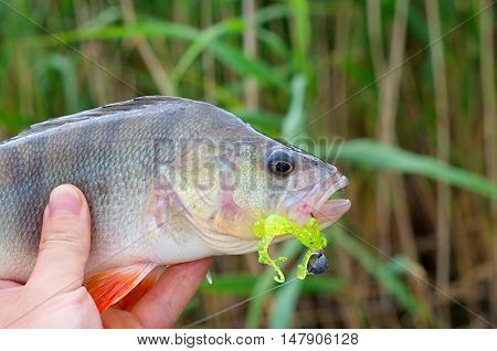 caught a big perch silicone bait in his mouth in his hand fisherman