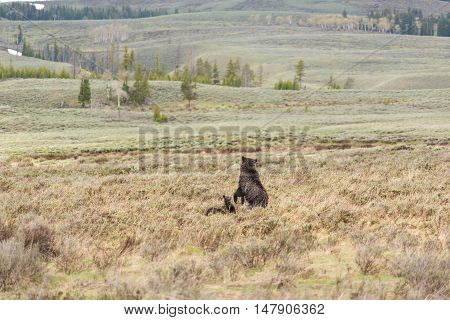 Mother grizzly bear standing up on back hind legs with two cubs in prairie in Yellowstone National Park
