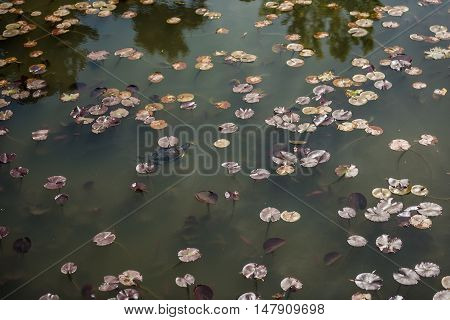 Turtle swimming in dwarf waterlily pad pond