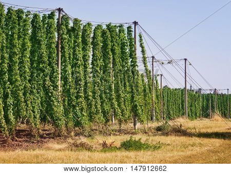 Hop plant hop plantation against blue sky