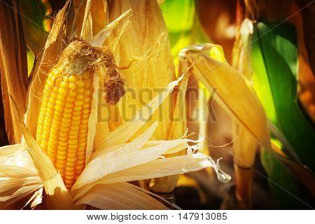 Corn corn on the cob corn doll in sunshine