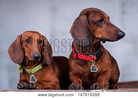 two purebred dogs a German smooth-haired Dachshund on a light background