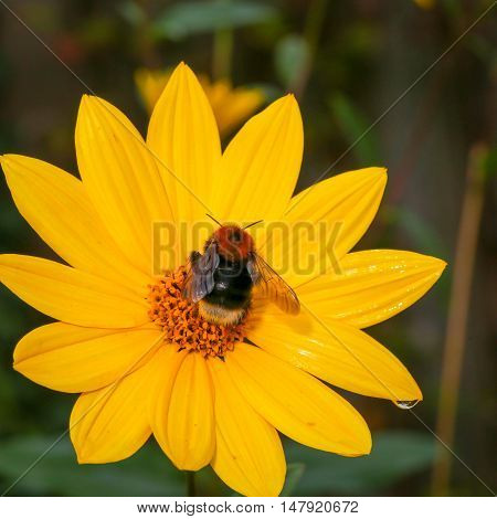 Bumblebee Pollinating Rudbeckia Bright Yellow Flower