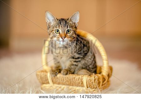 Motley Kitten Sitting In A Basket, Looking Forward. Age Of 2 Months.
