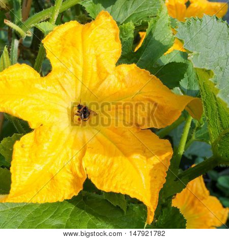 Courgette Yellow Flower Marrow Zucchini Bumblebee Pollinating