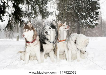 Group Of Dogs In Snow Drifts. Husky. Age 3 Years