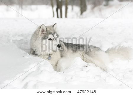 The husky puppy laying in snow. Forest. age 1