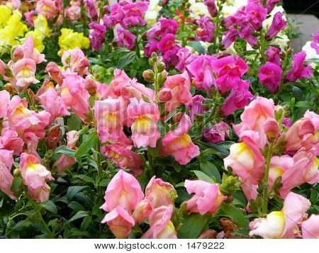 Colorful Spring Snapdragons