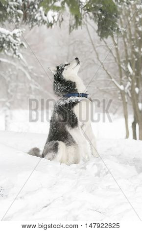 Dog In The Snow. Samoyed. The Dog Obeys The Command To Serve