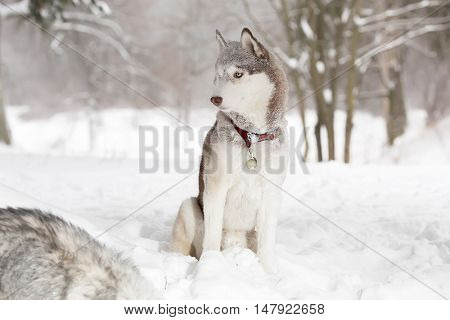 Laika in the snow in forest.  Winter