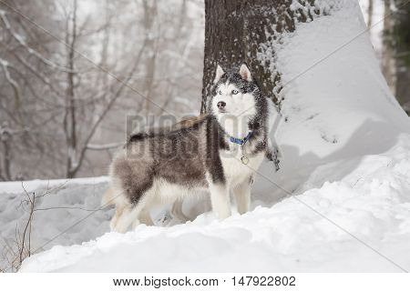 A dog in the hunt. Winter. Forest