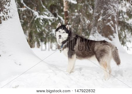 Beautiful big husky. Winter. Forest. age 4