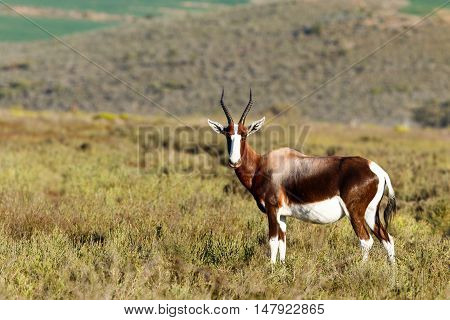 Bontebok In The Field Looking Perfect