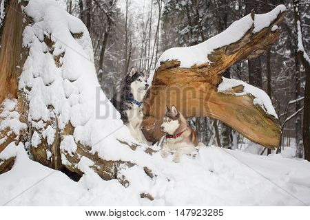 Two Beautiful Dogs In A Snowy Forest. Husky