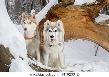 Two Beautiful Young Dogs In A Snowy Forest. Husky. Puppies