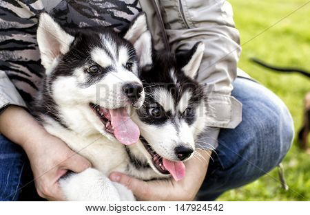 adorable husky Puppy with protruding tongues in hand