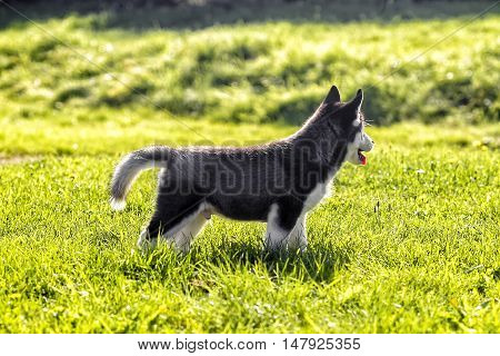 charming husky puppy looking away 4 month