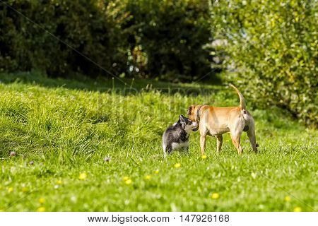 puppy husky meets big dog. walking on the grass