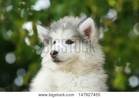portrait fluffy charming of a white Malamute puppy