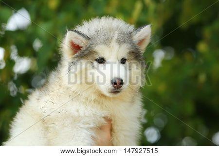 Flaffy charming White Malamute. puppy. 2 months