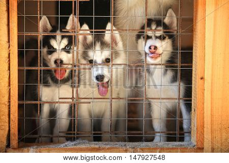 Siberian Husky Puppies In A Cage. Aviary