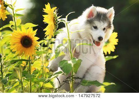 charming fluffy Malamute puppy among sunflowers age 1
