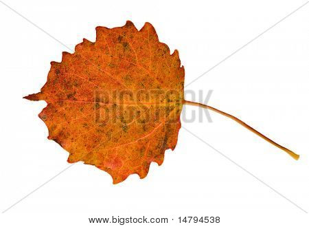autumn asp leaf isolated on white background