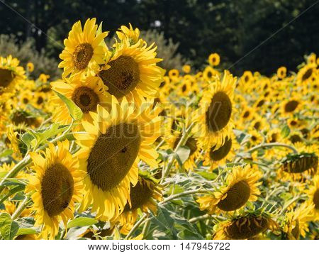 Field of Sun Flowers in afternoon sun