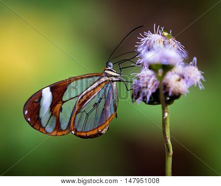 Tropical Butterfly On A Wildflower