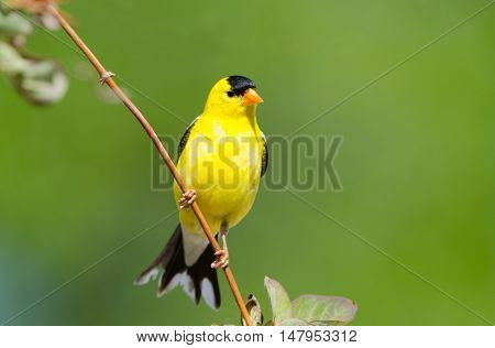 Male American Goldfinch, with a Green Background