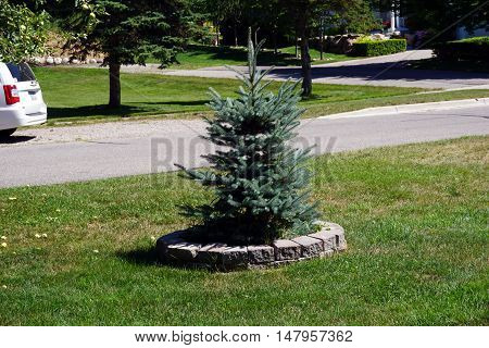 HARBOR SPRINGS, MICHIGAN / UNITED STATES - AUGUST 1, 2016: A small Colorado blue spruce tree (Picea pungens) is surrounded by a circular retaining wall in the front yard of a home in Harbor Springs.