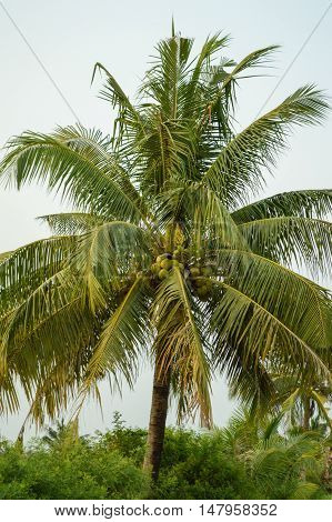 close up coconut tree in nature garden