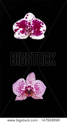 Set of two orchids isolated