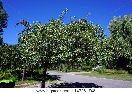 HARBOR SPRINGS, MICHIGAN / UNITED STATES - AUGUST 1, 2016: Apples ripen in an apple tree (Malus pumila) on Fourth Street in Harbor Springs during August.