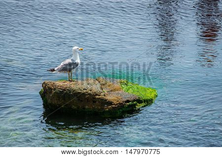 Seagull sitting on green rock in water near the Nesebar city, Bulgaria.