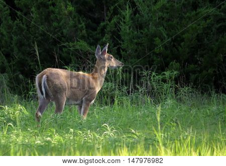 White tailed female doe deer standing and grazing in tall grass in front of evergreen trees
