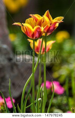 Tulips Close, Tulips Cute, Tulips, Beautiful Tulips, Colorful Tulips, Green Tulips Petals Amazing Tu
