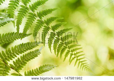 Fern Leaves (close up)