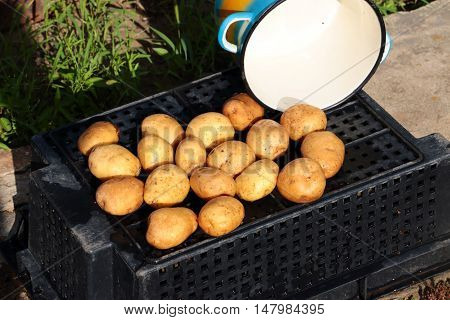 tubers were washed fresh potatoes and a metal pan