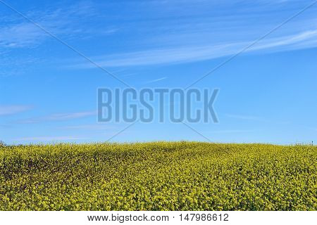 Golden field of flowering rapeseed (brassica napus) with blue sky
