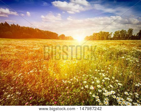 Summer blooming green meadow field with flowers with sun and blue sky. With lens flare and light leak