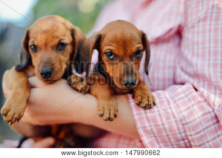 Dachshund Puppy. Woman At The Park Holding His Dog. Woman Holdin