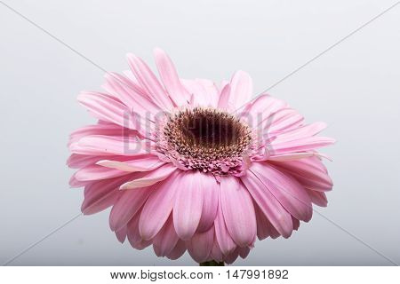 Close up of pink gerbera flower on white